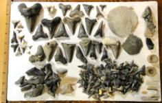 Finding Carcharocles Auriculatus Shark Teeth in Harleyville South Carolina