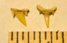 Reef Shark Teeth