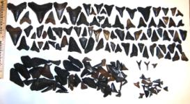 Scuba Diving the Edisto River Yields High Quality Fossil Shark Teeth