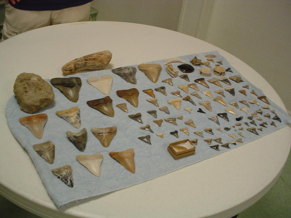 Summerville SC has some great colored megalodon teeth